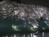 千鳥ヶ淵の夜桜 4 - 光の音色を聞きながら Ⅲ
