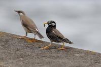 ムクドリの給餌 2017年撮影 - 銀狐の鳥見