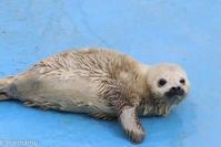 ゴマフアザラシの赤ちゃん~3月のおたる水族館 - My favorite ~Diary 3~