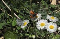■定点観察の蝶 (1)18.4.10 - 舞岡公園の自然2