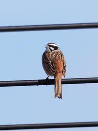 恋瀬川のホオジロ - コーヒー党の野鳥と自然 パート2