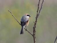 恋瀬川のモズ - コーヒー党の野鳥と自然 パート2