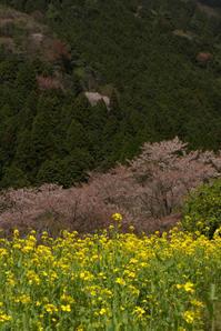 なごり桜大原で - 京都ときどき沖縄ところにより気まぐれ