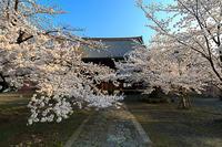 桜 2018!  ~立本寺~ - Prado Photography!