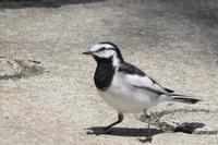 タイワンハクセキレイ - poiyoの野鳥を探しに