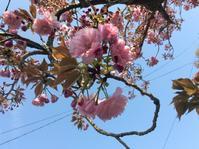再び・・・「2度目のT邸の庭・お茶とお菓子で桜の宴!」編 - 納屋Cafe 岡山