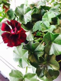 アイビーゼラニウム トムキャット♪ベランダのお花(๑′ᴗ‵๑) - てふの庭