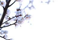 梅2018/04/03 - 虹のむこうには何が見える?