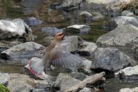ヒレンジャクの飛び出し - 比企丘陵の自然