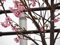 桜・・・1 - るーちゃん日々雑感