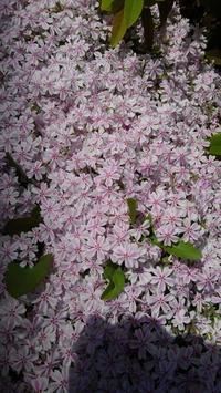 芝桜満開 - うちの庭の備忘録 green's garden