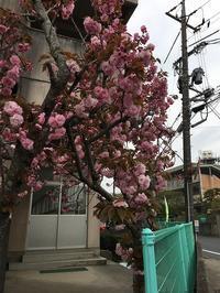 八重桜 - よもやま日記書いてます。