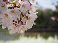 万代池の桜。 - Photo*Today & Then
