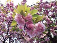 八重桜 - ないものを あるもので