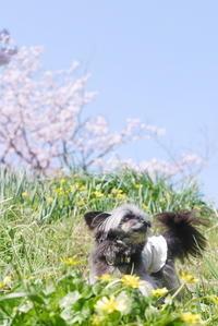 桜と菜の花の藤原宮跡 - ぶらり休暇