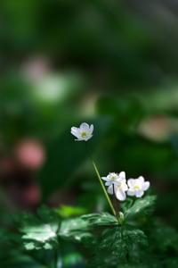 春の嵐ニリンソウ(二輪草)他 - 身近な自然を撮る