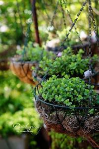 芽生え始めた オレガノ。 - Pastel green - Flower diary