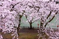 ご近所のsakura ④ 2018/04/05 - 虹のむこうには何が見える?