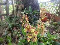 エビネラン - だんご虫の花