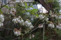 つりがね状の花 - CHIROのお庭しごと