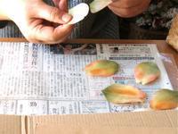 チューリップ2種 - フィオレッタな日々 フィオレッタの創作ダイアリー