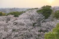 2018 さくら巡り-半田市- - さんたの富士山と癒しの射心館