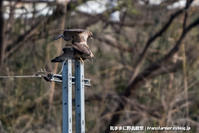 ノスリ達の春 - 気ままに野鳥観察