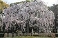 京都御苑出水の糸桜 - ぴんぼけふぉとぶろぐ2