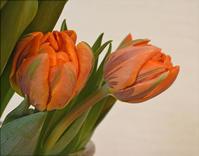 オレンジプリンセス(Orange Princess) - まみっちのチューリップ