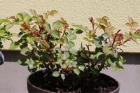 薬剤散布1回目*凍害のマダムプランティエ - my small garden~sugar plum~