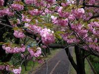 桜は八重へと - Wakaba photos