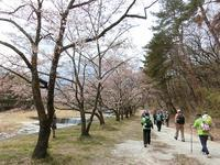 神宮川の桜並木 - 風路のこぶちさわ日記