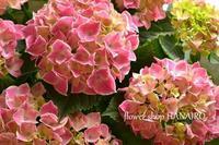 アジサイなど♪入荷した花苗状況。 - 花色~あなたの好きなお花屋さんになりたい~