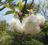 桜ノナゴリ… - 侘助つれづれ