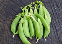 スナップエンドウ初収穫&つるありインゲン発芽4・11 - 北鎌倉湧水ネットワーク