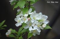 ヒメリンゴの花  2018年4月12日 - LLC徒然