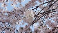 桜桜桜~❀ - 魚津でもクマクマな日々