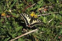 ■ 定点観察の蝶 (2)   18.4.12 - 舞岡公園の自然2