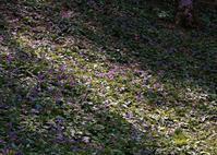カタクリの花とニリンソウ - 写真を主とした日記です