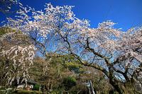 桜2018!~岩屋寺~ - Prado Photography!