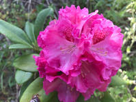 庭の花、その後とユーミン - ひいぽぽタイムスNO.2