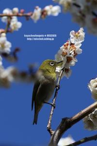 お花見鳥①白梅&メジロ - 花野鳥風月MISCHEH