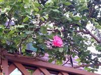 もう開花! - 美鈴とトラと私とお庭