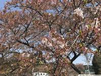 ダムの見頃がきますよ - 甲賀市観光協会スタッフブログ