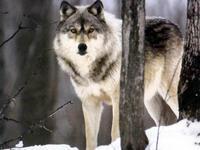 狼についてのある山師の話 - 菫青石に天の川