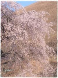 桜/大室山 cherry - 花鳥風猫ワン