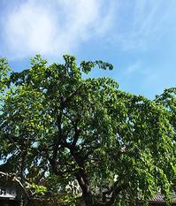 葉桜 - 松露園 blog