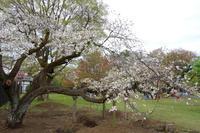 花見の〆は駿河台匂で 2014年4月7日 - 暗 箱 夜 話 【弐 號】