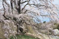 五斗蒔田の桜 - 遥かなる月光の旅