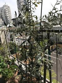 ベランダの植物達 - 青山ぱせり日記